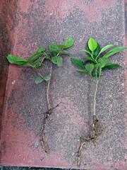 Mix de Jabuticaba Goiaba Mixirica (2) (jemaambiental) Tags: mamadeira jabuticaba bonsais goiaba mixirica prébonsais bonsaístas preparaçãodebonsais mixdeespécies