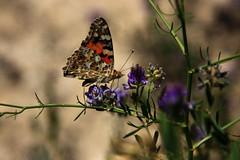 IMG_4301a (photoa99) Tags: كازاخستان kazakhstan қазақстан казахстан centralasia silkroad mangyshlak peninsula мангышлак butterfly butterflies