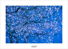blue spring (Zino2009 (bob van den berg)) Tags: blossom flower tree branches white pink wall light creative spring springtime march frühling primavera voorjaar silhouette holland netherlands deventer zino2009 eyecatcher