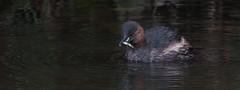 Little Grebe (Alan-Taylor) Tags: little grebe littlegrebe bird stickleback canal leedsliverpoolcanal bingley