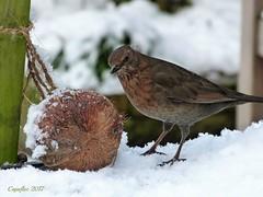 Blackbird female (Cajaflez) Tags: bird vogel oiseau fogel winter hiver blackbird female merel vrouw snow birdfeed vogelvoer ruby3