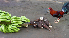 Lunch ? (STEHOUWER AND RECIO) Tags: rooster animal banana cassava food plant plants fruit fruits roots root frame candid moment yummy philippines pilipinas kamotengkahoy saging tandang menu lunch vegetables groenten eten delicious colours casava bird simple three 3 grey brown red blue eye fresh feathers feather tropical simpicity