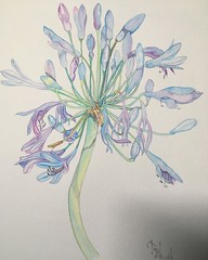 agapanthus (hunt1942) Tags: watercolour watercolor agapanthus