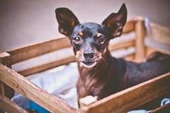 Focinho e orelhinhas (nanysendra) Tags: pepy pinscher dog orelhas