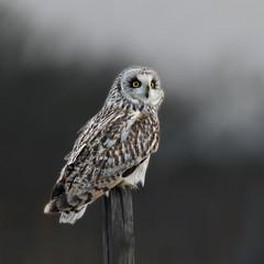 Short-eared Owl - Asio flammeus UB2A8569 (paulcoltman) Tags: short eared asio flammeus