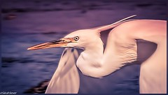 Fuchsia Bay gliding low #wcs1 #birding #egret #birds4all #portrait (WhyCallSarah) Tags: portrait june bay low birding fuchsia gliding 06 egret 2014 wcs1 0448am birds4all
