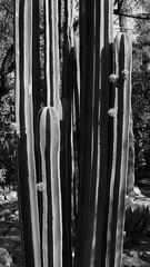 "Fence post cactus, ""Dog Days of Summer"" at TBG, June 10 2014 (Distraction Limited) Tags: arizona cactus monochrome gardens tucson botanicalgardens fencepost tucsonbotanicalgardens tucsonbotanical dogdaysofsummer stenocereus pachycereusmarginatus stenocereusmarginatus mexicanfencepost cactusandsucculentgardens tbg20140610 cactussucculentgardens"