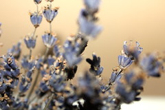 lavender (emilyw_1022) Tags: world life flowers summer brown plant blur flower canon garden happy photography spring focus purple room flash meadow lavender inspire myphotography canonrebelt3i