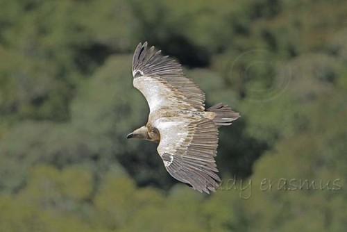 Cape  Vulture  fly past  S+H _1126