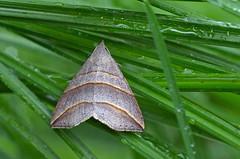 Pajuöölane; Colobochyla salicalis; Lesser Belle (urmas ojango) Tags: lepidoptera liblikalised insecta putukad insects moth erebidae phytometrinae nationalmothweek colobochyla pajuöölane colobochylasalicalis lesserbelle ebaöölased
