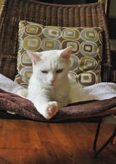"""I think if I aim right down the middle..."" --Charlie (rootcrop54) Tags: white male goofy cat charlie kitteh 猫 macska gatto katzen kot outtake kočka kedi katt kissa köttur mačka kucing oddeyed кошка 고양이 katė γάτα maček kaķis pisică gorbe cc3000 admiringmypedicure"