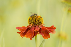 honeycollector (Zino2009 (bob van den berg)) Tags: red wild flower color macro green nature closeup focus soft natural bee honey moment deventer f32 sigma105mm bobvandenberg ulebelt zino2009