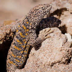Liolaemus fabiani (Chris Momberg) Tags: chile chris naturaleza macro sol alex nature de photography nikon san christopher dia pedro micro atacama mano desierto laguna 60mm fotografia fabian nikkor salar detalles f28 lagartija rocas chileno fabiani reptil recorte chilena pumarino liolaemus alzada momberg d7000 chaxas chmomberg