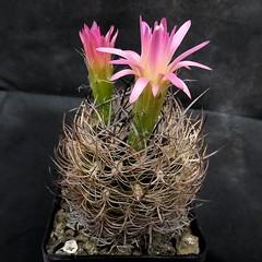 Eriosyce gerocephala '331' (Pequenos Electrodomsticos) Tags: cactus flower flor cacto eriosyce neoporteria neoporteriagerocephala eriosycegerocephala
