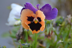 A smiling pansy... (bbic) Tags: blue summer black petals colours maroon pansy lila bbic