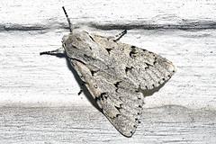 Schaapje vlinder