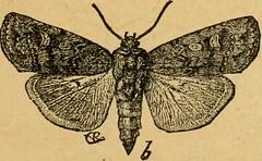 Anglų lietuvių žodynas. Žodis grain moth reiškia grūdų drugelis lietuviškai.