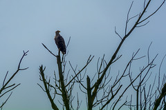 Maitre Pygargue sur son arbre perch... (Jean-Phi.) Tags: aves haliaeetus rapace accipitridae whitetailedeagle haliaeetusalbicilla accipitriformes pygarguequeueblanche grandaigledemer aiglebarbu seeagler huardorfraie halitealbicille