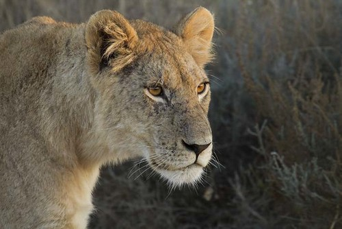 Young Lion_2579