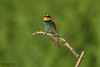 Bee-eater and Roller Trip 22-28th June 2014