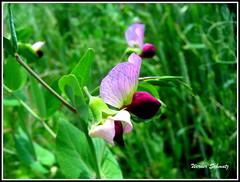 Erbse - Pea (Pisum sativum) (Werner_Schmutz) Tags: pea hlsenfrchte erbse schmetterlingsbltler pisumsativum leguminosen gartenerbse