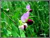 Erbse - Pea (Pisum sativum) (Werner_Schmutz) Tags: pea hülsenfrüchte erbse schmetterlingsblütler pisumsativum leguminosen gartenerbse