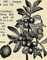 Anglų lietuvių žodynas. Žodis yellow cattley guava reiškia geltona cattley gvajavos lietuviškai.