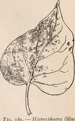 Anglų lietuvių žodynas. Žodis cleistothecium reiškia klistotechius lietuviškai.