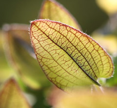 leaf veins (bugman11) Tags: macro nature leaves canon leaf flora nederland thenetherlands thegalaxy 100mm28lmacro infinitexposure