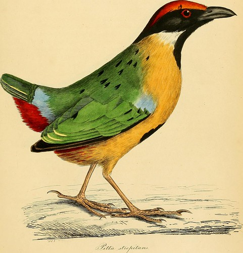 "Image from page 140 of ""Illustrations of ornithology"" (1826)"