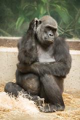 2014-08-21-17h14m46.BL7R7779 (A.J. Haverkamp) Tags: amsterdam dierentuin httpwwwartisnl artis thenetherlands gorilla pobrotterdamthenetherlands dob03061985 canonef100400mmf4556lisusmlens zoo sindy shindy dod12022019 podamsterdamthenetherlands