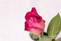 Single Pink Rose (Ben Hutson) Tags: morning pink blue wild summer white blur flower detail macro nature water beautiful rain rose closeup canon intense pretty background august drop romance petal creation dew romantic florist simple boke 2014 100d
