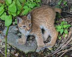 eurasian lynx3 (magnus.johansson10) Tags: animals zoo sweden stockholm skansen lynx lodjur eurasianlynx