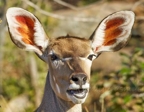 Female  Kudu chewing _1280