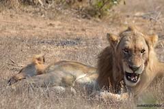 DSC_1094 (Arno Meintjes Wildlife) Tags: africa southafrica bush wildlife lion safari krugerpark pantheraleo arnomeintjes