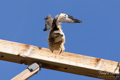 Juvenile Swainson's Hawk repositions itself on its perch.