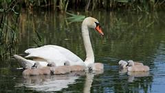 Linguaggi (lincerosso) Tags: birds estate uccelli palude bellezza cygnusolor armonia tenerezza comportamento cignoreale vallevecchia