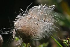 Seedhead (Keith (foggybummer)) Tags: seedhead grassland knapweed centaurea windborne stcyrusnnr