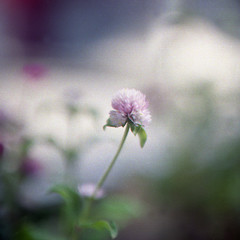 Red Clover (Tokko2011) Tags: tl pentacon six