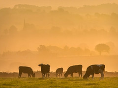 Calves in the mist (explored)(Getty listed) (Alan10eden) Tags: morning autumn trees mist field silhouette fog sunrise canon landscape countryside view farm sigma september northernireland layers farmer 1770 livestock ulster calves countyarmagh 70d
