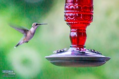 Hovering (The Suss-Man (Mike)) Tags: bird nature animal georgia dof hummingbird bokeh gainesville hallcounty bokehlicious thesussman sonyalphadslra550 minoltaafreflex500mmf8 sussmanimaging