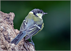 Great Tit (Parus major) (reedwarbler) Tags: bird nikon wildlife feathers august greattit warwickshire 2014 d7000