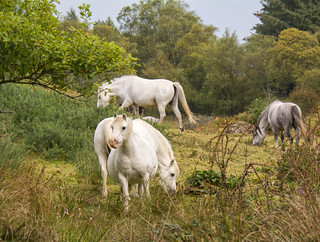 Garron Horses