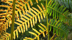 transition to autumn (All Shine) Tags: light fern nature colors leaf poetry transparency emotions