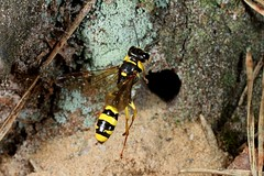 Rolf_Nagel-Fl-7700-Mellinus_arvensis (Insektenflug) Tags: mellinusarvensis arvensis digger im fliegend flight flying nest nesting airborne wildlife mit prey fly action highspeed insects wilhelmshaven beute brutpflege deutschland entomofauna entomologie fauna fliegen flug germany grabwespe grafschaft niedersachsen hautflgler hymenoptera insekt insekten kotwespe mellinus sphecidae wasp wespe insect imflug inflight insektenflug