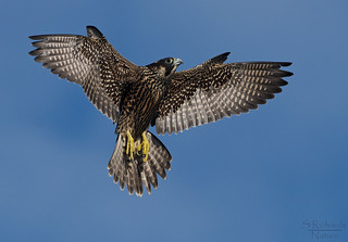 Peregrine falcon, juvenile