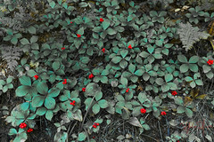 Red berries.jpg (Jylia001) Tags: newyork nature vegetables leaves forest unitedstates greens redberries keenevalley giantmountain