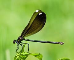 Ebony Jewelwing (Calopteryx maculata) (monon738) Tags: macro nature closeup bug insect wings pentax wildlife indiana 300mm damselfly k5 jewelwing calopteryx odonata calopterygidae ebonyjewelwing calopteryxmaculata lagrangecounty smcpda300mmf40edifsdm pigeonriverfishandwildlifearea