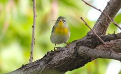 Northern Paula (Baltimore Bartender) Tags: northpointstatepark commonyellowthroatwarbler marylandbirds