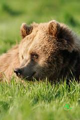 Brown Bear (Andreas Krappweis - thanks for 2,3 million views!) Tags: bear grass sunshine relaxing meadow enjoying brownbear ursusarctos tamronspaf300mmf28ldif sonyalpha77